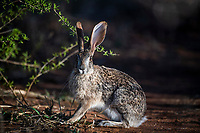 Scrub Hare, Madikwe Game Reserve, North West Provonce, South Africa