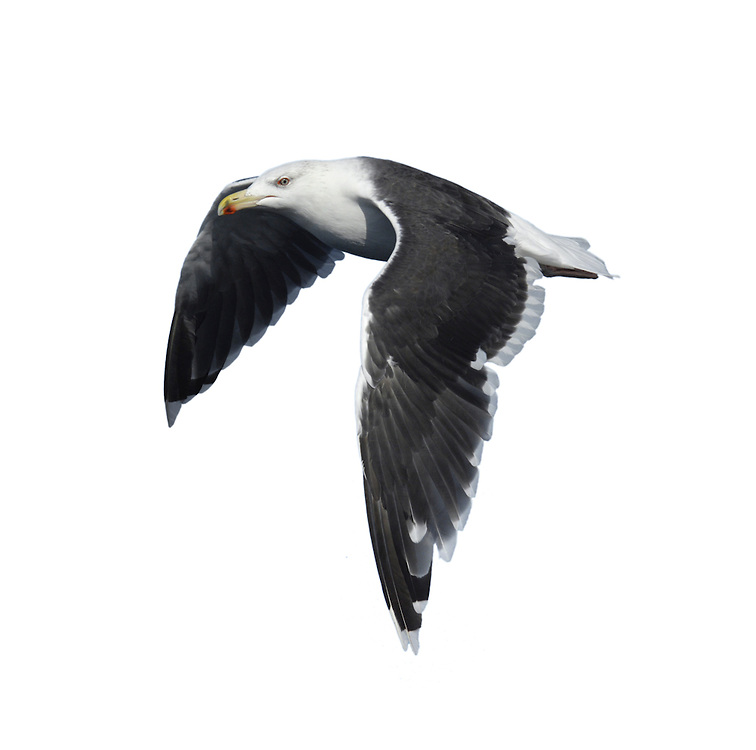 Great Black-backed Gull - Larus marinus. L 64-79cm. Our largest gull species. Bulkier than Lesser Black-backed, adult with darker back, massive bill and pink legs. Sexes are similar. Adult has almost uniformly dark back and upperwings; wingtips only marginally darker than rest of wings. Note white patch at tip of wings and broad white trailing edge. Plumage is otherwise white. Bill is yellow with an orange spot. Juvenile and 1st winter are mottled and streaked grey brown. In flight, brown upperwings have pale panels and inner primaries. Bill is dark, legs are dull pink and whitish tail is dark-tipped. Adult plumage acquired over 3 years. Voice Utters a deep kaa-ga-ga call. Status Local and coastal in the breeding season. Often nests in vicinity of mixed seabird colonies and pairs are territorial. Outside breeding season, more widespread inland and numbers boosted by migrants from N Europe.