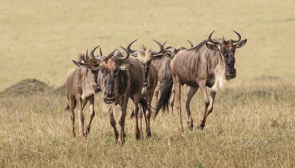 Connochaetes taurinus, Kenya