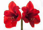 Image of a pair of amaryllis flowers