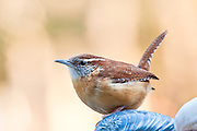 Picture of a Carolina Wren on a seashell.