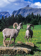 Bighorn Sheep with the Garden Wall and Bishops Cap in Glacier Nastional Park in Montana