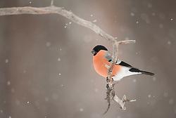 Goudvink; Bullfinch, Pyrrhula pyrrhula