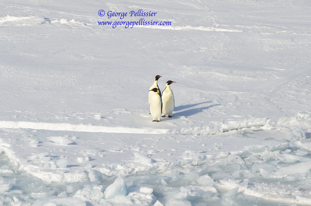 A trio of Emperor Penguins (Aptenodytes forsteri) on the ice in McMurdo Sound, Antarctica.
