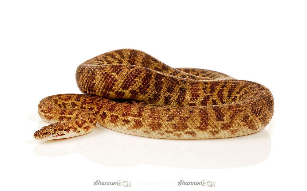 MacDonald Ranges Stimson's python (Antaresia stimpsoni), native to Australia.  The species is also referred as the Large-blotched python for the patterns of its markings, or in reference to its genus as an Inland Children's python.