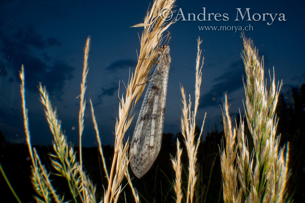 Antlion, Europe Antlion (Euroleon nostras), Neuroptera, Switzerland Image by Andres Morya