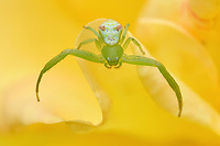 Close up of a Crab spider, Misumena sp. Thomisidae, East Lake Greenway park, Wuhan, Hubei, China