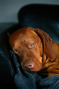 SHOT 1/1/08 3:15:27 PM - Images of Tanner a three year-old male Vizsla sleeping in the sun on the couch in his home in Denver, Co. The Hungarian Vizsla, is a dog breed originating in Hungary. Vizslas are known as excellent hunting dogs, and also have a level personality making them suited for families. The Vizsla is a medium-sized hunting dog of distinguished appearance and bearing. Robust but rather lightly built, they are lean dogs, have defined muscles, and are similar to a Weimaraner but smaller in size. The breed standard calls for the tail to be docked to two-thirds of its original length in smooth Vizslas and to three-fourths in Wirehaired Vizslas..(Photo by Marc Piscotty/ © 2007)