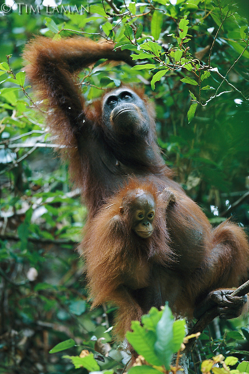 Adult female Bornean Orangutan (Pongo pygmaeus) with her young.  Gunung Palung National Park, West Kalimantan, Indonesia.
