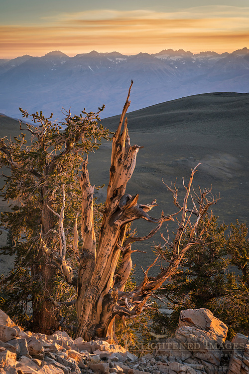 Bristlecone Pine at sunset with Sierra Nevada mountain range in distance, Patriarch Grove, Ancient Bristlecone Pine Forest, Inyo National Forest, White Mountains, California