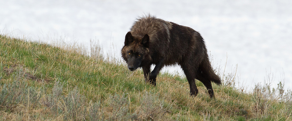 """This young female member of the Yellowstone's Canyon Pack was constantly being harassed by her siblings. She appeared to occupy the lowest position in the Pack's hierarchy, a position often referred to as the """"Omega""""."""