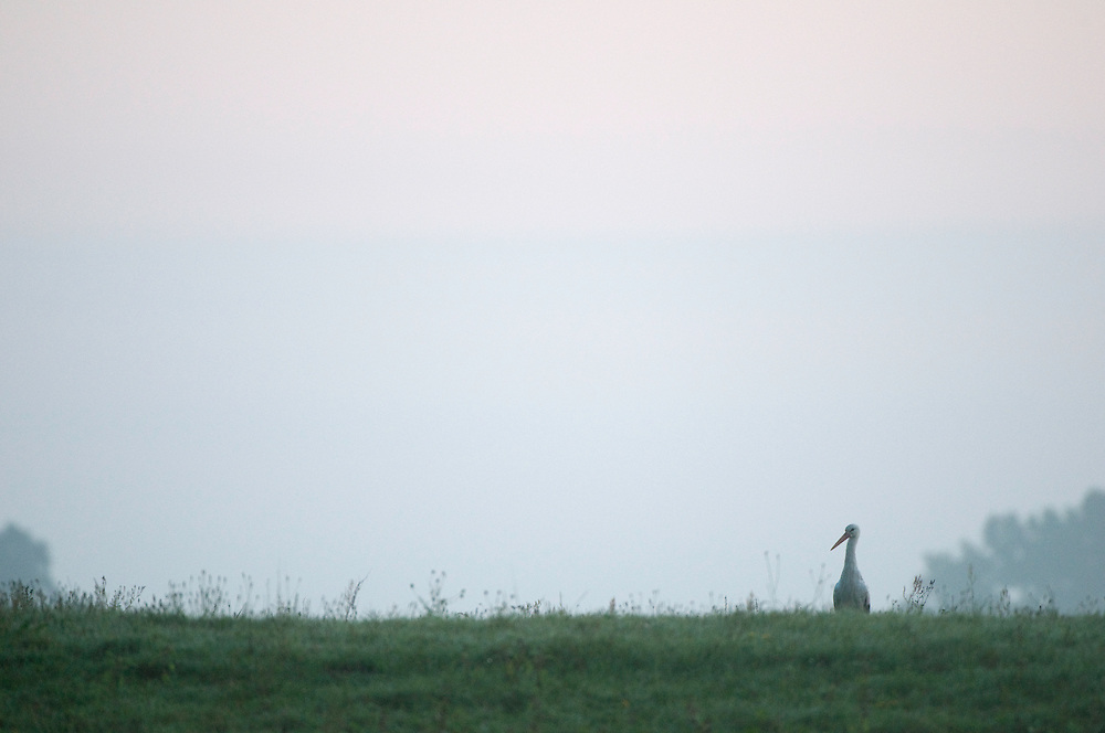 Mission: Black Storks River Elbe Germany; Biosphärenreservat Niedersächsische Elbtalaue; Biosphere Reserve Middle Elbe; Weißstorch; White Stork; Ciconia ciconia