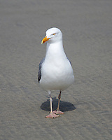 A grumpy-looking Herring Gull walks straight toward the camera.
