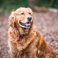 Elderly Golden Retriever