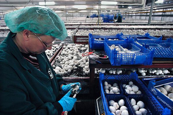 Nederland, Horst, 15-10-2003Champignon kwekerij Heveco. In deze hal oogsten, plukken voornamelijk legale werknemers uit Polen de champignons die op een andere locatie opgekweekt zijn.  Delicatesse, lekkernij, arbeidskrachten, schimmel, paardenmest, uitzendkrachten, Europa, champignon productie, voedsel produktie, werkloosheid.Foto: Flip Franssen/Hollandse Hoogte
