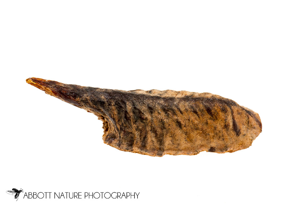 Brunner's Mantis (Brunneria borealis) ootheca