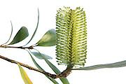 Coast Banksia, Banksia integrifolia