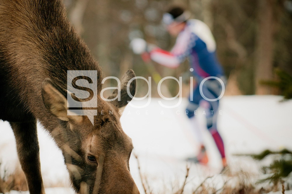 A skate skier passes below a moose along the Kincaid Park Trails in Anchorage, Alaska.