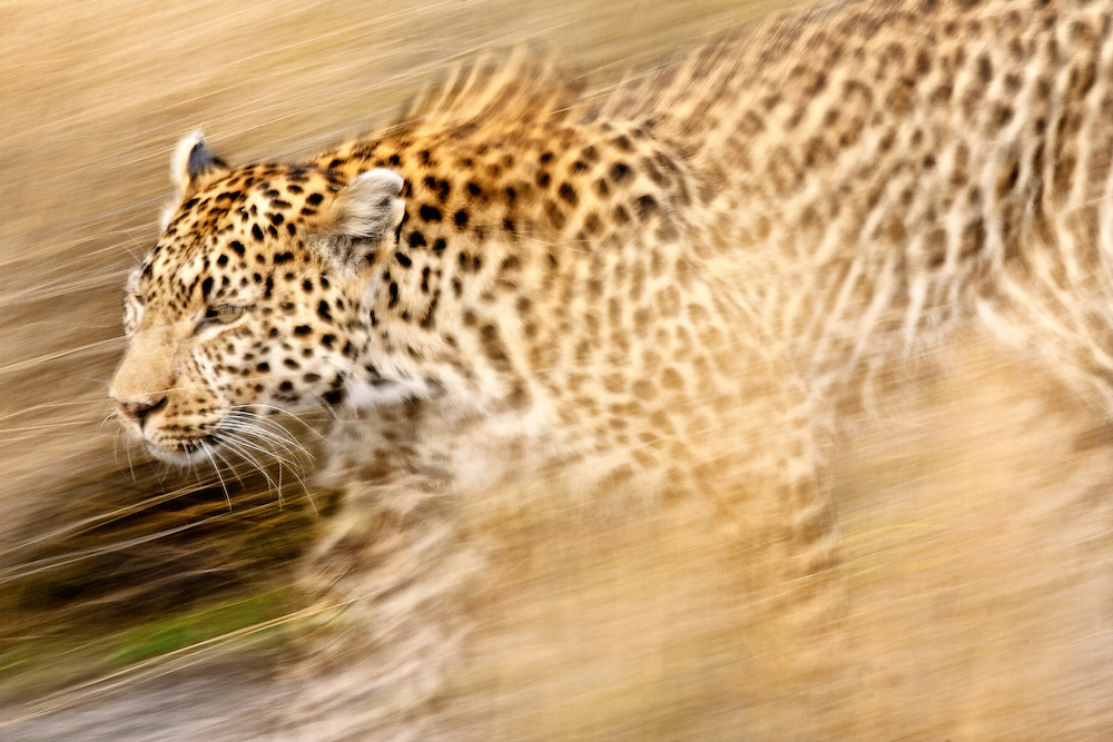 A female leopard stalking her prey in blurred motion.