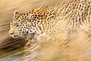 A female leopard stalking her prey in blurred motion.