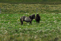 Shetland Ponies on the Island of Unst