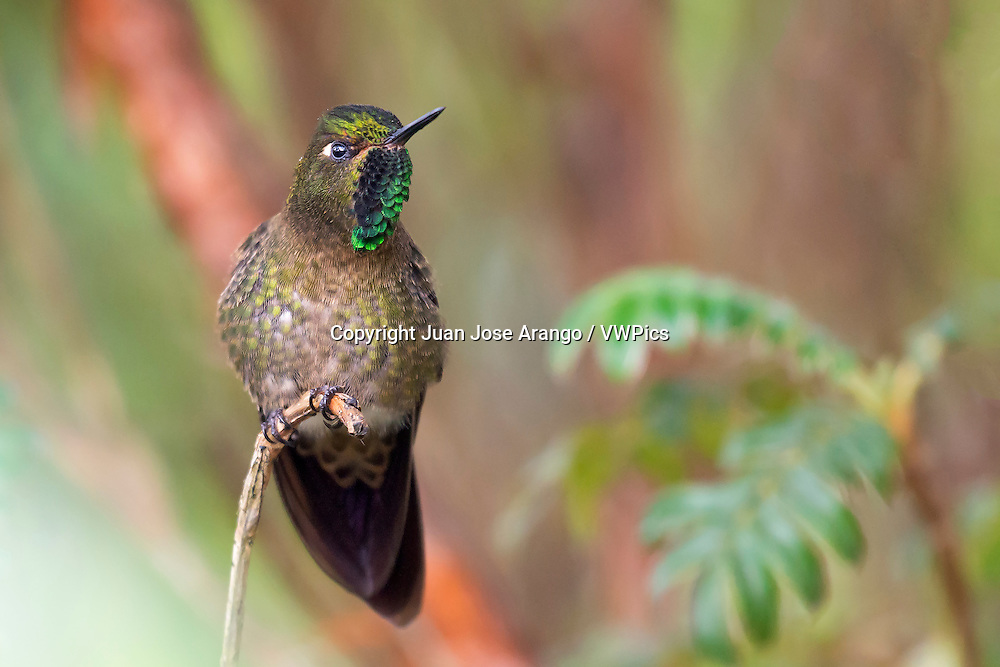 Tyrian Metaltail (Metallura tyrianthina) male, Pichincha, Ecuador