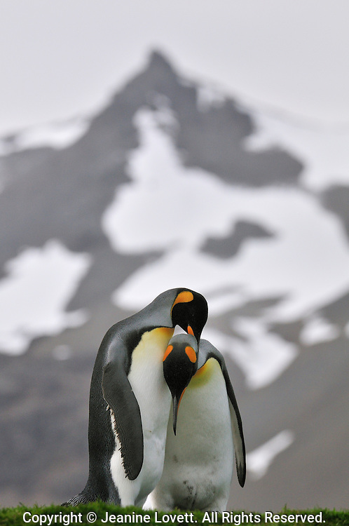 Courting King penguins rub the others neck.