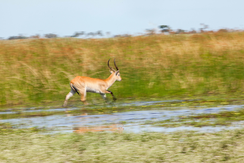Slow shutter speed image of a Red Lechwe running, Okavango Delta, Botswana