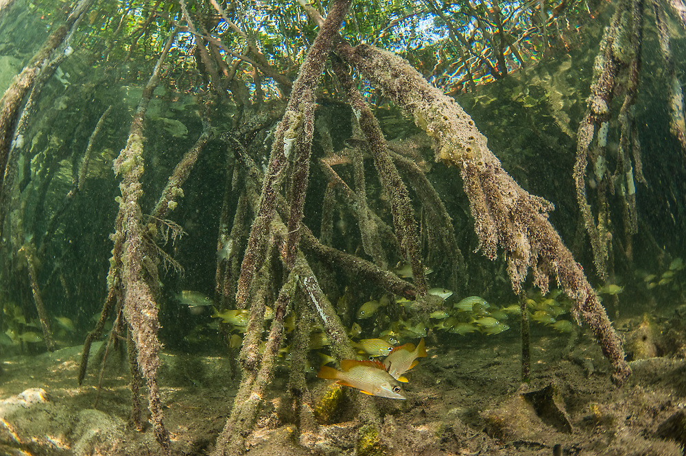 Roots of red mangroves (Rhizophora mangle) serve to prevent erosion, protect juvenile marine fish and safeguard the coastline from storms and wave action. They are one of the few plants to live in saltwater. These were photographed in Southwest Caye, Belize, Central America, Caribbean Sea