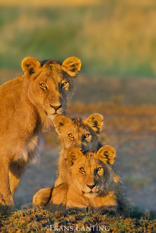 Lioness and cubs, Panthera leo, Masai Mara Reserve, Kenya