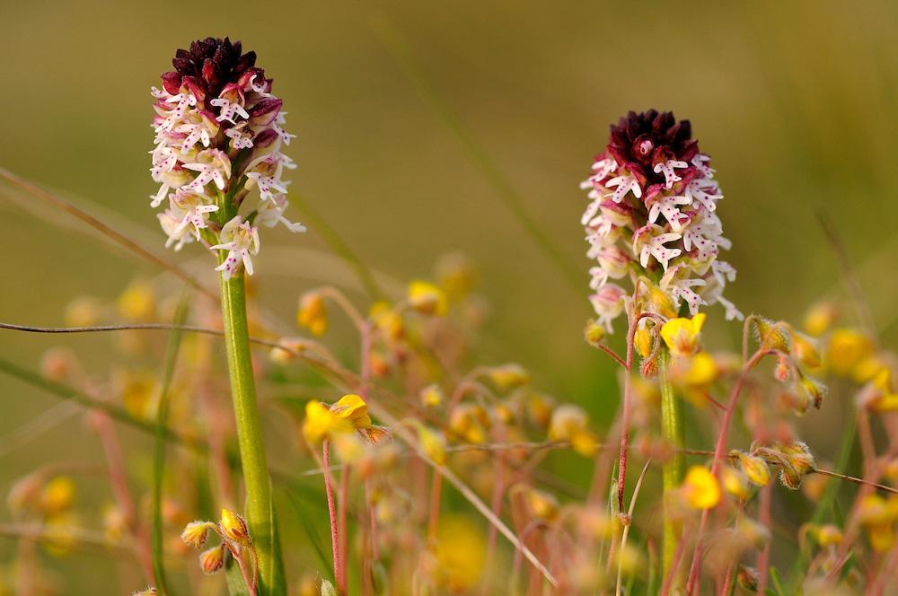 France, Languedoc Roussillon, Lozère (48), Cevennes, fleur de Orchis brûlé, N.L.: Orchis ustulata, (Orchidacées)