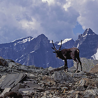 Mountain caribou bulls. Tonquin Valley, Jasper National Park, Canada.