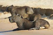Capybara<br /> Hydrochaeris hydrochaeris<br /> Baby resting on mother<br /> Pantanal, Brazil