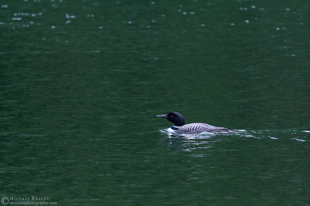 A Common Loon (Gavia immer) swimming in Lightning Lake at EC Manning Provincial Park, British Columbia, Canada