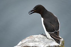 Razorbill on Isle of May National Nature Reserve, Firth of Forth, Scotland, UK