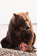 USA, Katmai National Park (AK).Coastal brown bear (Ursus arctos) eating salmon