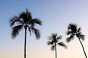 Palm trees along Waikiki Beach on Oahu