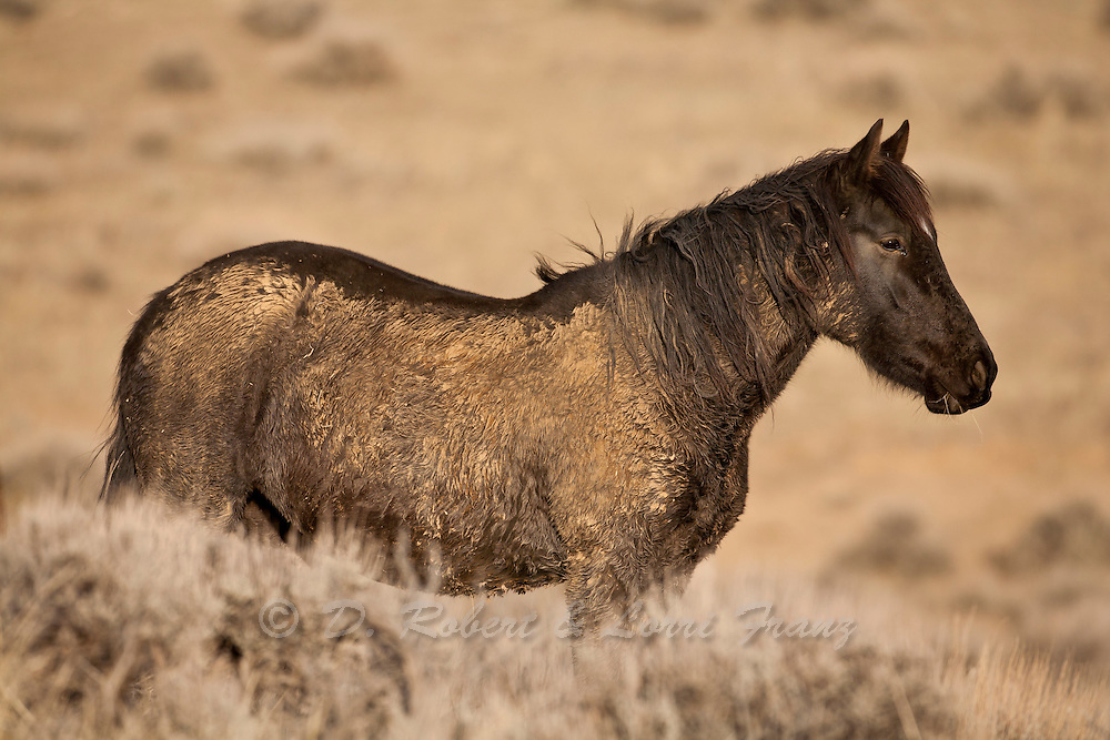 Wild mustang stallion in Wyoming