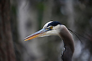 IDAHO. Boise. Morrison-Knudsen Nature Center. Great Blue Heron fishing in pond in winter. February 2006. #bh060301