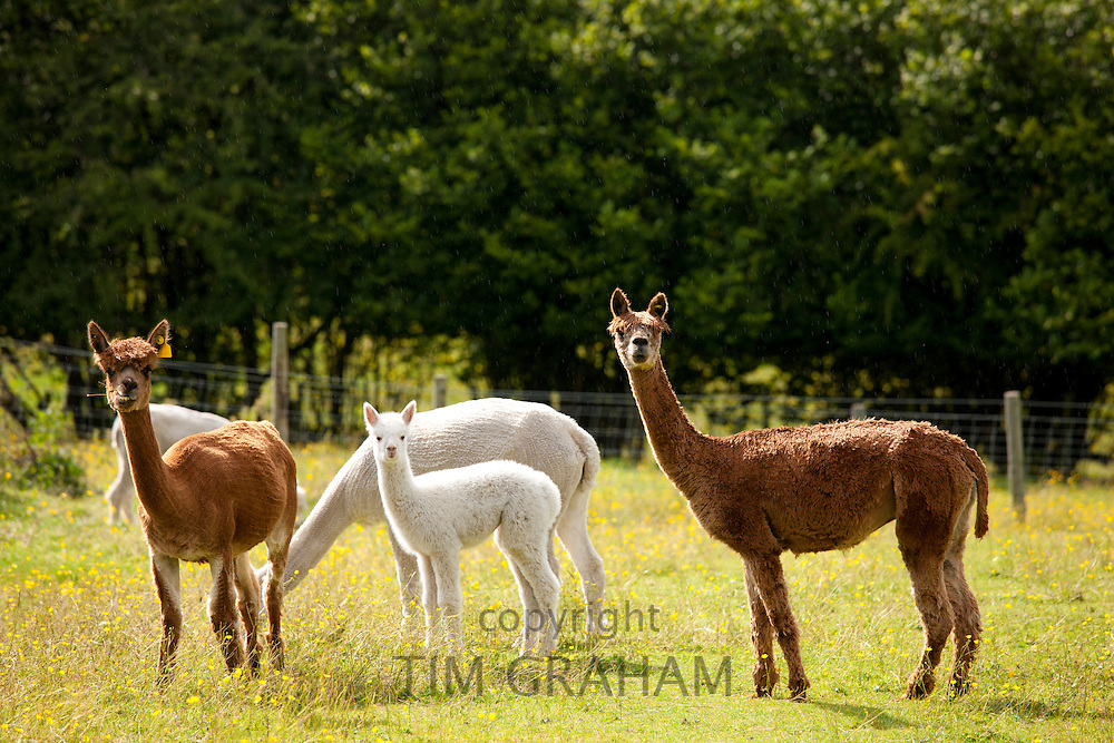 Alpacas at Town End Farm near Kendal in the Lake District National Park, Cumbria, UK