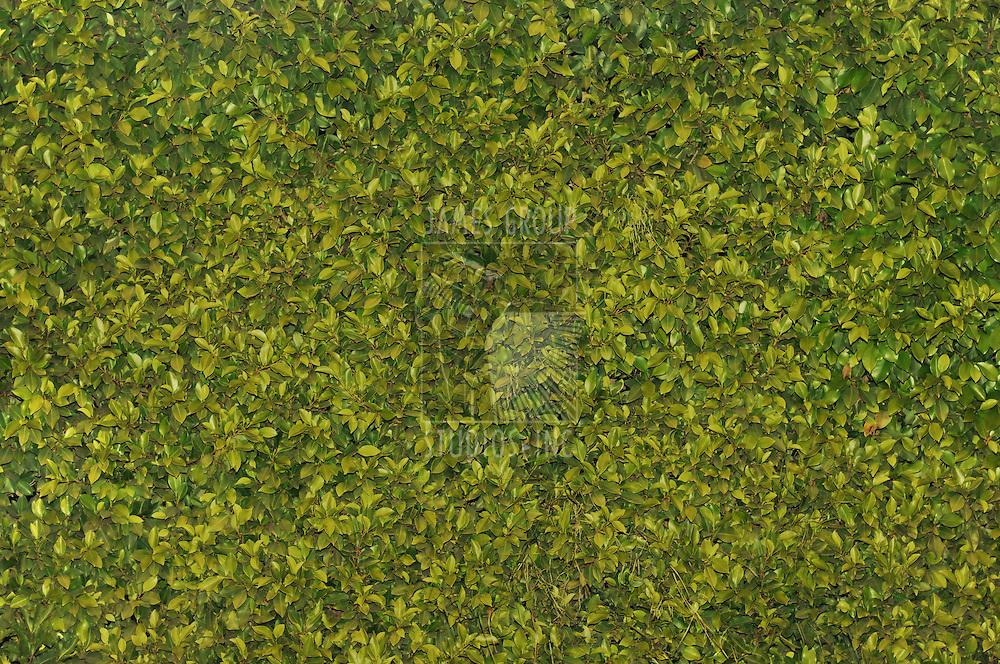 Texas privet hedge background