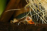 left: Palmate newt (Triturus helveticus) right: Alpine Newt (Triturus alpestris) female. Kiel, Germany | Das Bergmolch-Männchen schließt beim Öffnen des Mauls seine Augen. Deutlich sind an der Maulinnenseite die nach innen gedrückten Augäpfel zu sehen. Bergmolch (Triturus alpestris) und Fadenmolch (Triturus helveticus) sind zwei Schwanzlurcharten, die oft gemeinsame Laichgewässer bevölkern.