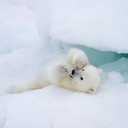 A playful cub keeps busy with a piece of ice. Nordaustlandet, Svalbard, Norway.