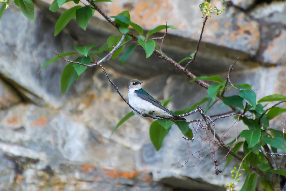 One of the most frustrating of all birds to get on camera, the violet-green swallow is an extremely fast, small swallow found in all western American states, most of Mexico, and British Columbia and the Yukon in Canada. This one paused for a lucky second halfway up a rocky cliff wall in a canyon west of Yakima, Washington.