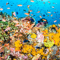 A beautiful and colorful pristine coral reef found in the remote islands of Indonesia.