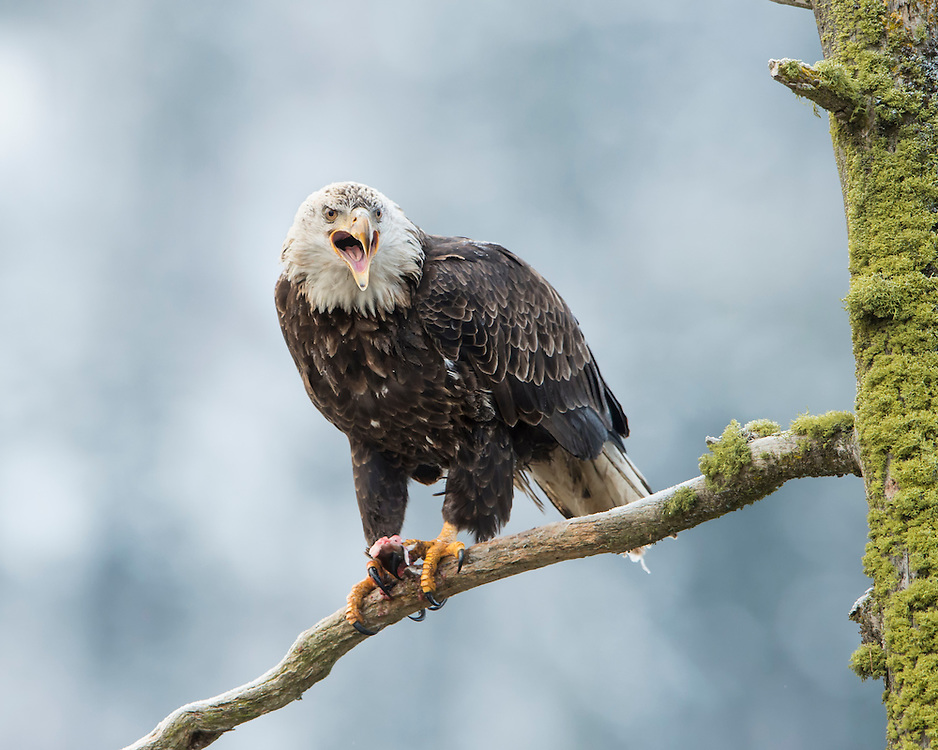 A Bald Eagle (Haliaeetus leucocephalus) cries out to neighboring eagles after consuming a salmon, Idaho
