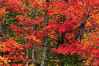 Colorful fall foliage in Acadia National Park, Maine, USA