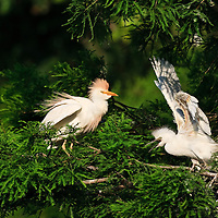 Wild fledgling cattle egret (Bubulcus ibis) siblings rush out from the nest to beg from a parent returning to the rookery, St. Augustine Alligator Farm Rookery, Anastasia Island, St. Augustine, Florida.