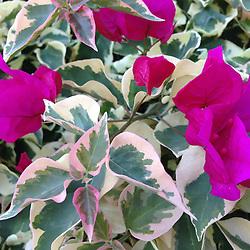 Bougainvillea (Bougainvillea spectabilis), Maui, Hawaii, US