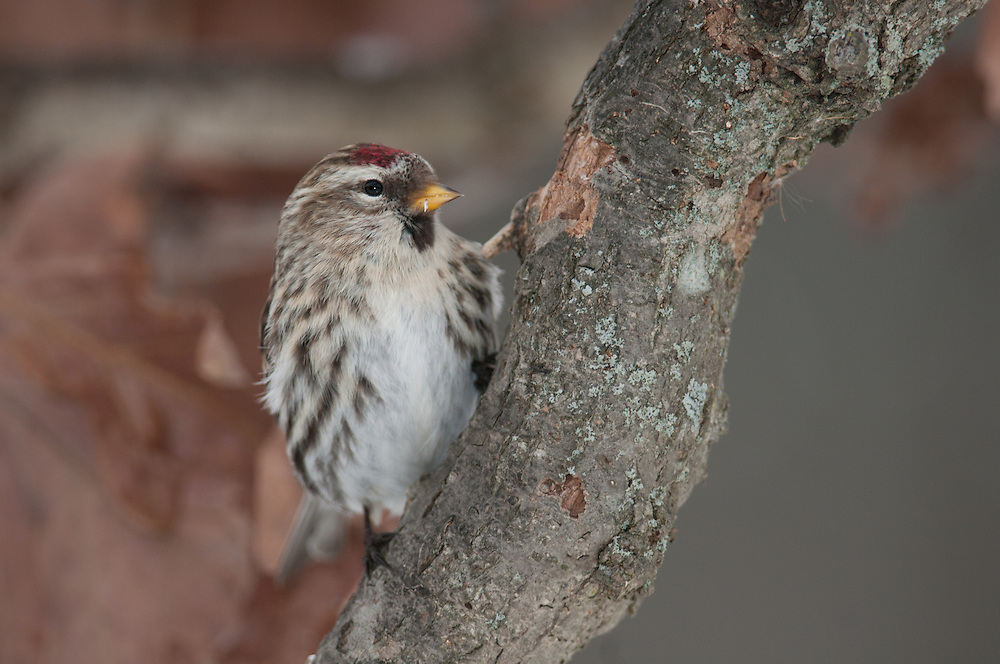 Common Redpoll on tree branch in upstate NY